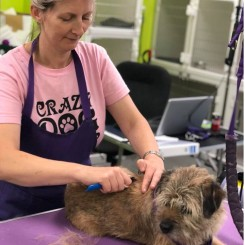 Clare hand strips a Border Terrier