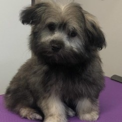 A cute puppy enjoys her groom in the Four Paws Puppy School